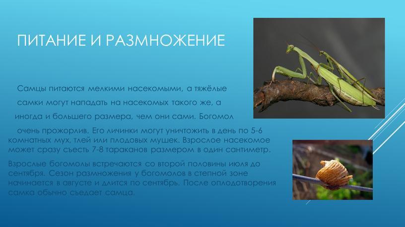 ПИТАНИЕ И РАЗМНОЖЕНИЕ Самцы питаются мелкими насекомыми, а тяжёлые самки могут нападать на насекомых такого же, а иногда и большего размера, чем они сами