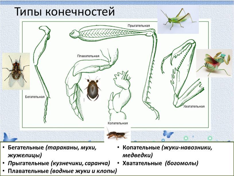 Типы конечностей Бегательные (тараканы, мухи, жужелицы)