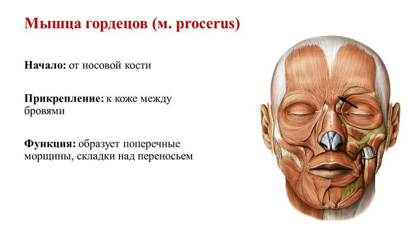 Мышца гордецов (м. procerus) Начало: от носовой кости