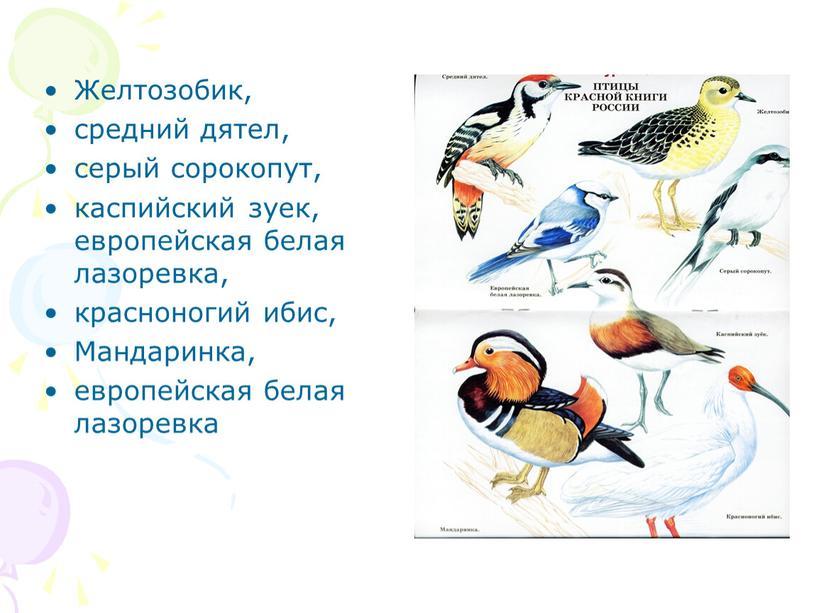 Желтозобик, средний дятел, серый сорокопут, каспийский зуек, европейская белая лазоревка, красноногий ибис,