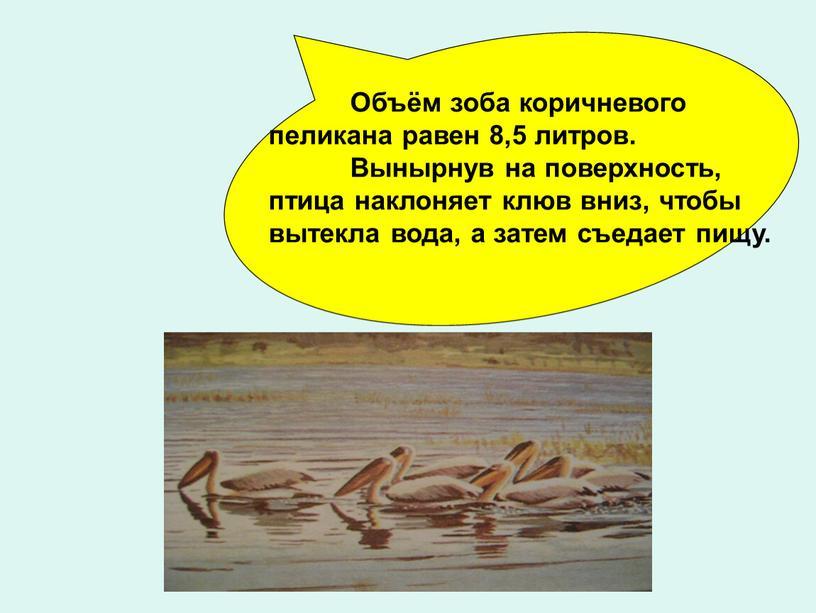 Объём зоба коричневого пеликана равен 8,5 литров
