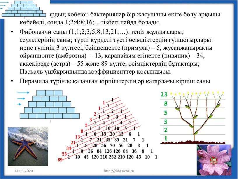 Фибоначчи саны (1;1;2;3;5;8;13;21;…): теңіз жұлдыздары; сәулелерінің саны; түрлі күрделі түсті өсімдіктердің гүлшоғырлары: ирис гүлінің 3 күлтесі, бәйшешекте (примула) – 5, жусанжапырақты ойраншөпте (амброзия) – 13,…