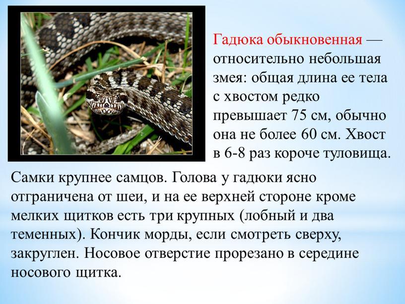 Гадюка обыкновенная — относительно небольшая змея: общая длина ее тела с хвостом редко превышает 75 см, обычно она не более 60 см