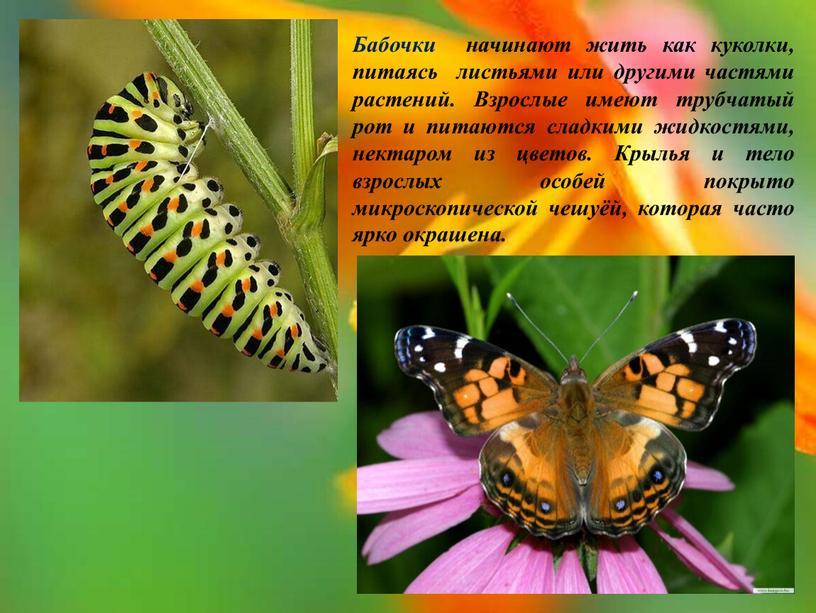 Бабочки начинают жить как куколки, питаясь листьями или другими частями растений