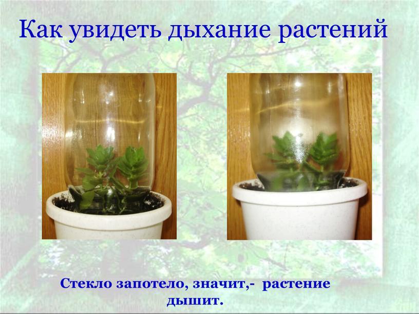Как увидеть дыхание растений Стекло запотело, значит,- растение дышит