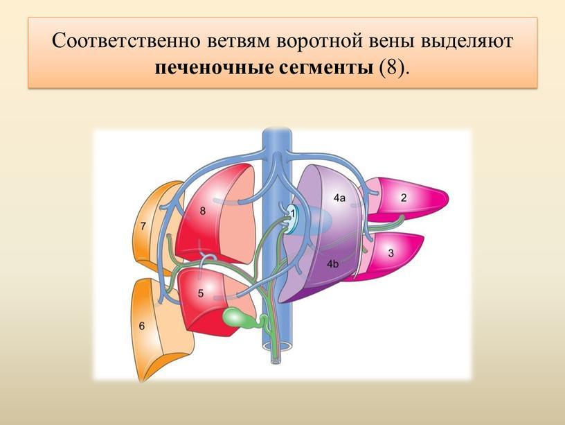 Соответственно ветвям воротной вены выделяют печеночные сегменты (8)