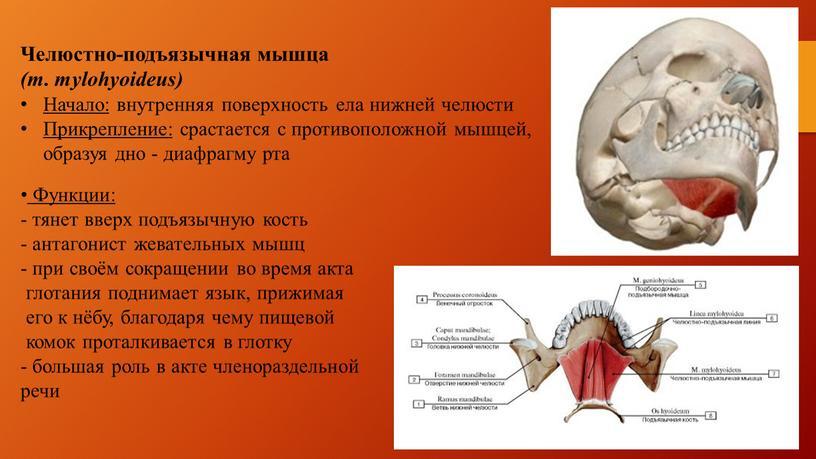 Челюстно-подъязычная мышца (m