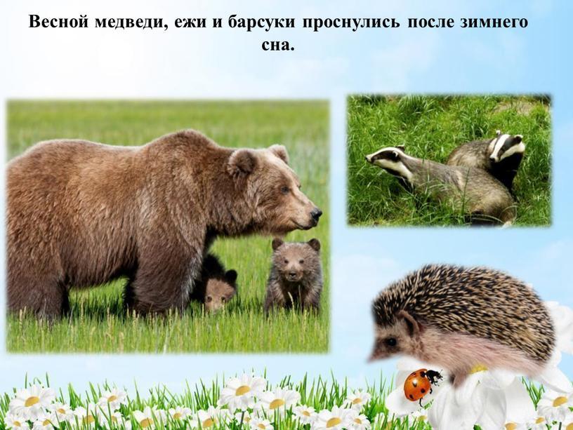 Весной медведи, ежи и барсуки проснулись после зимнего сна