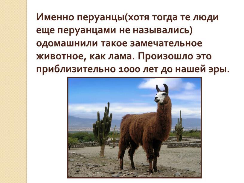 Именно перуанцы(хотя тогда те люди еще перуанцами не назывались) одомашнили такое замечательное животное, как лама