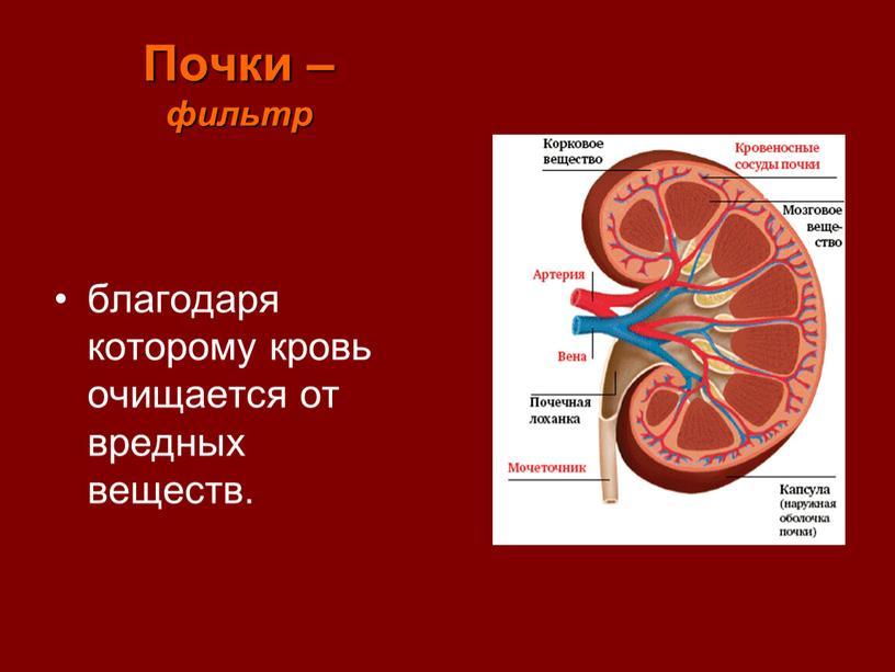 Почки – фильтр благодаря которому кровь очищается от вредных веществ
