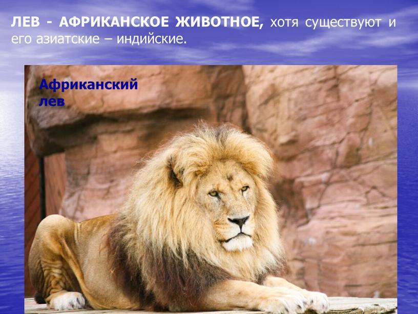 Африканский лев ЛЕВ - АФРИКАНСКОЕ