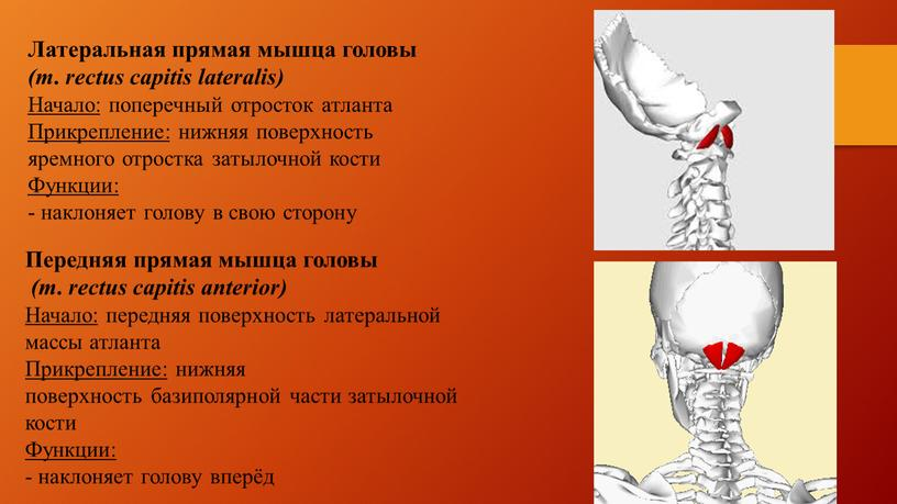 Латеральная прямая мышца головы (m