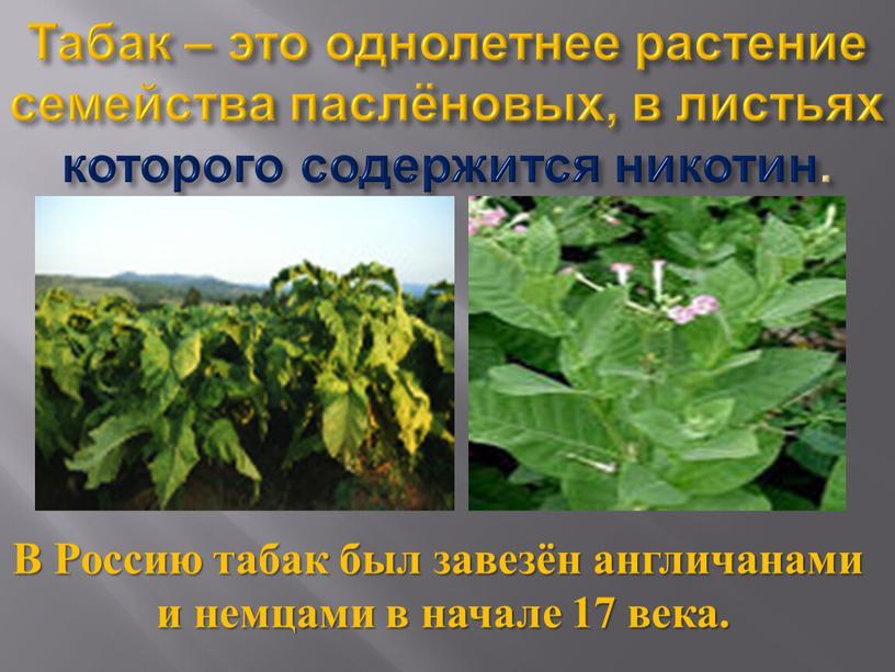 Табак – это однолетнее растение семейства паслёновых, в листьях которого содержится никотин