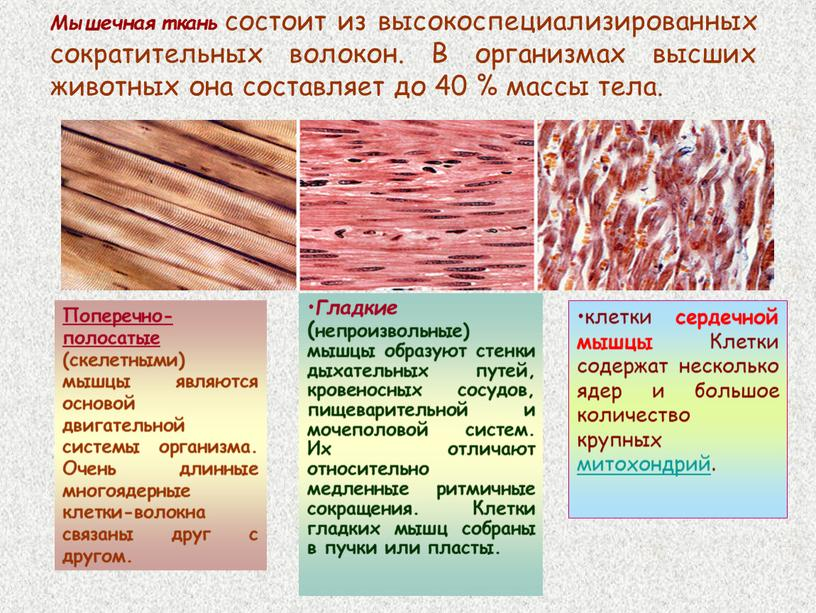 Мышечная ткань состоит из высокоспециализированных сократительных волокон