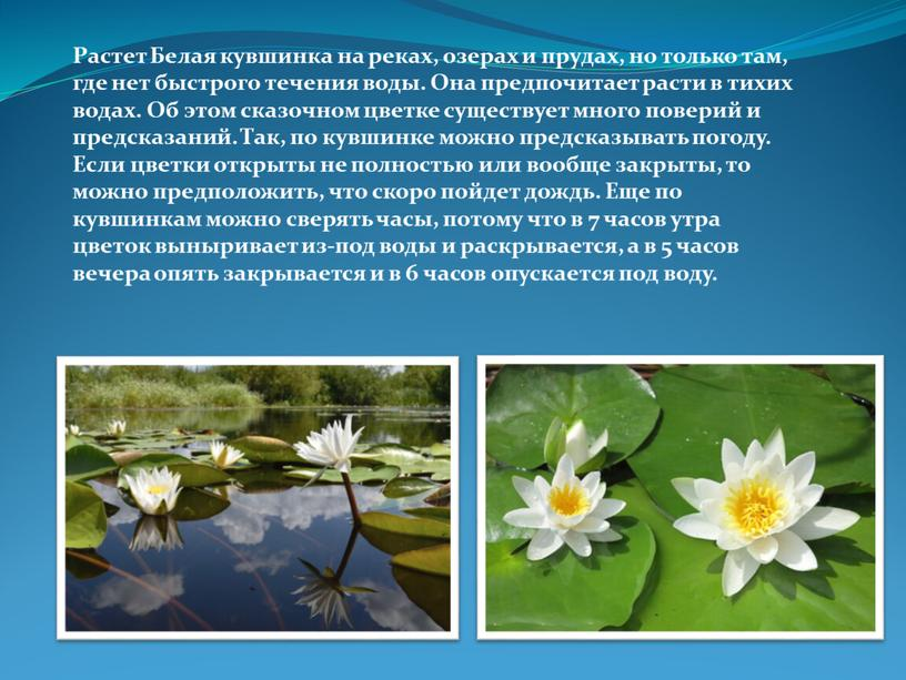 Растет Белая кувшинка на реках, озерах и прудах, но только там, где нет быстрого течения воды