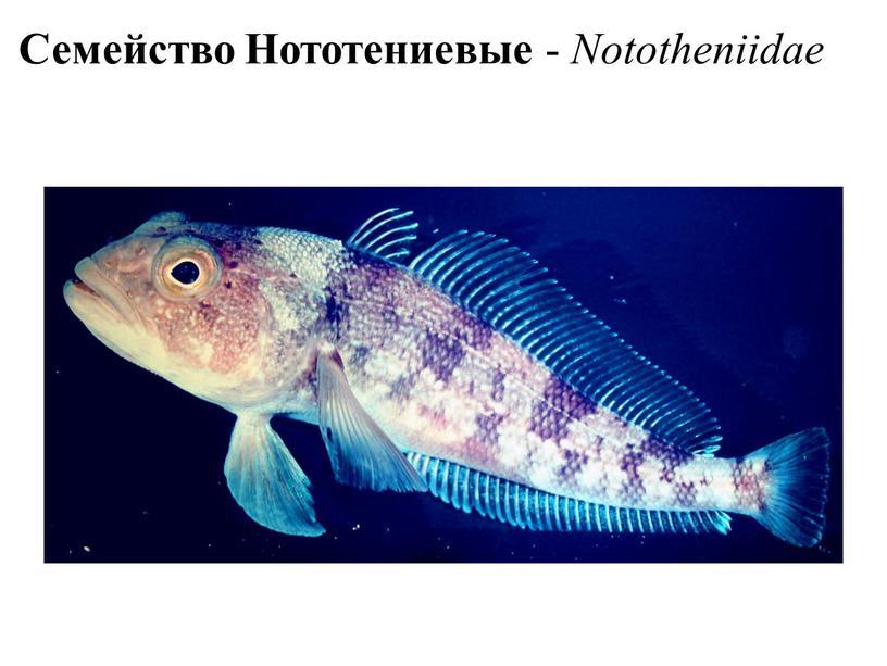 Семейство Нототениевые - Nototheniidae