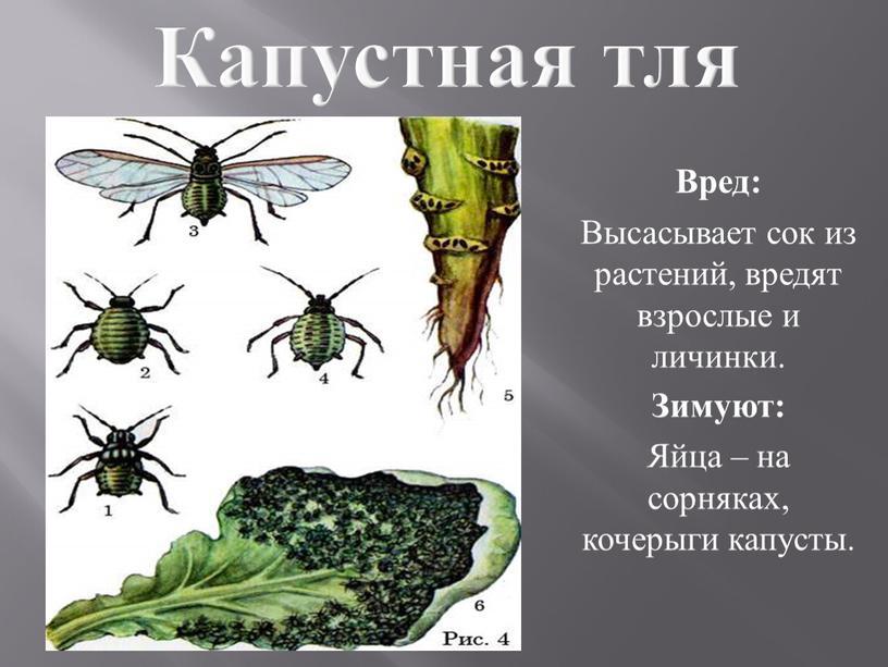 Капустная тля Вред: Высасывает сок из растений, вредят взрослые и личинки