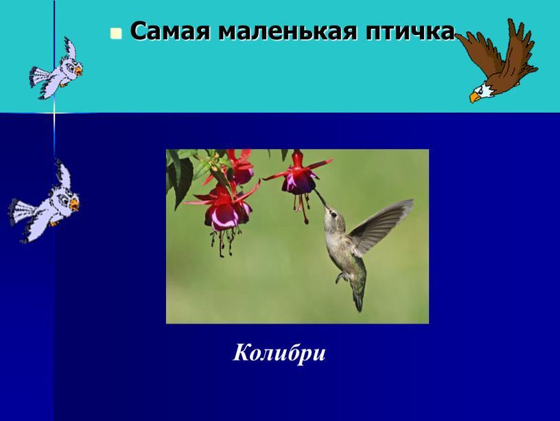 Самая маленькая птичка. Колибри