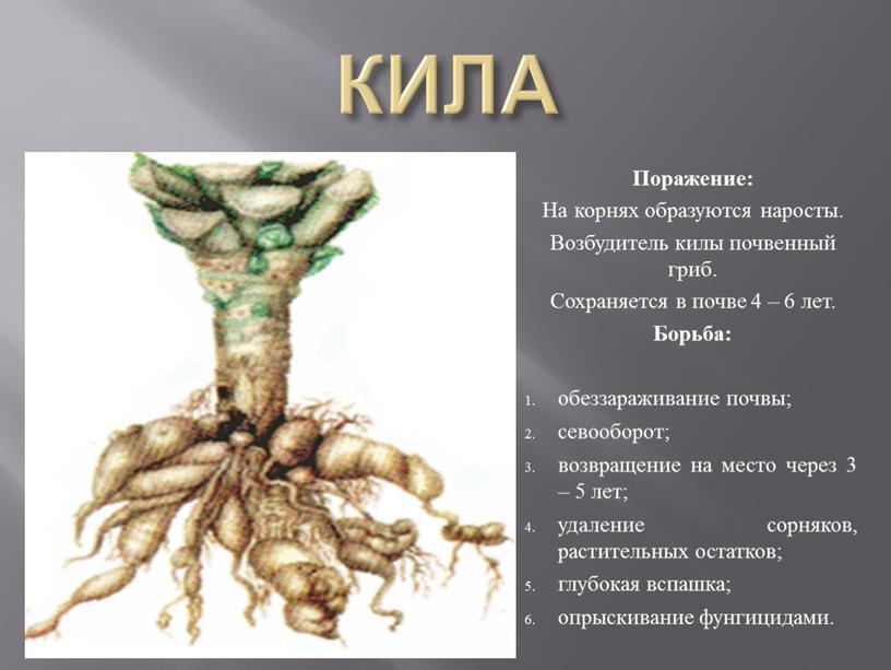 КИЛА Поражение: На корнях образуются наросты