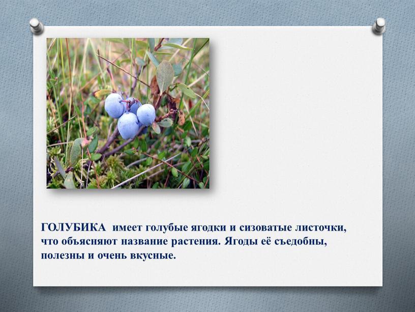 ГОЛУБИКА имеет голубые ягодки и сизоватые листочки, что объясняют название растения