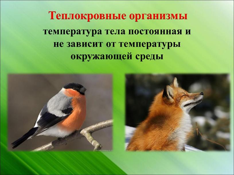 Теплокровные организмы температура тела постоянная и не зависит от температуры окружающей среды