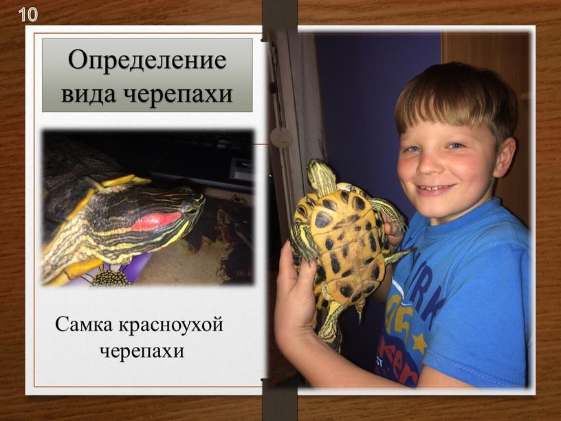 Определение вида черепахи Самка красноухой черепахи 10