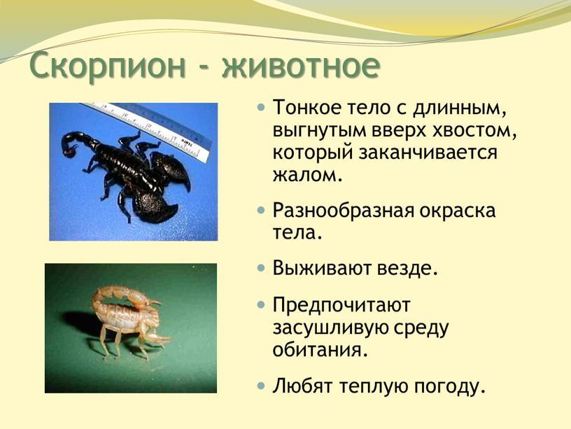 Скорпион - животное Тонкое тело с длинным, выгнутым вверх хвостом, который заканчивается жалом