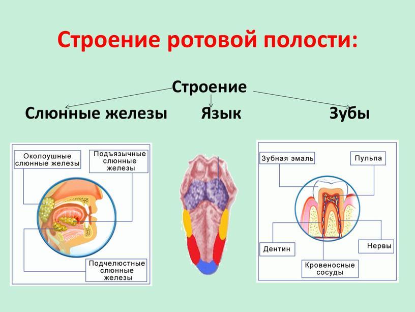 Строение ротовой полости: Строение