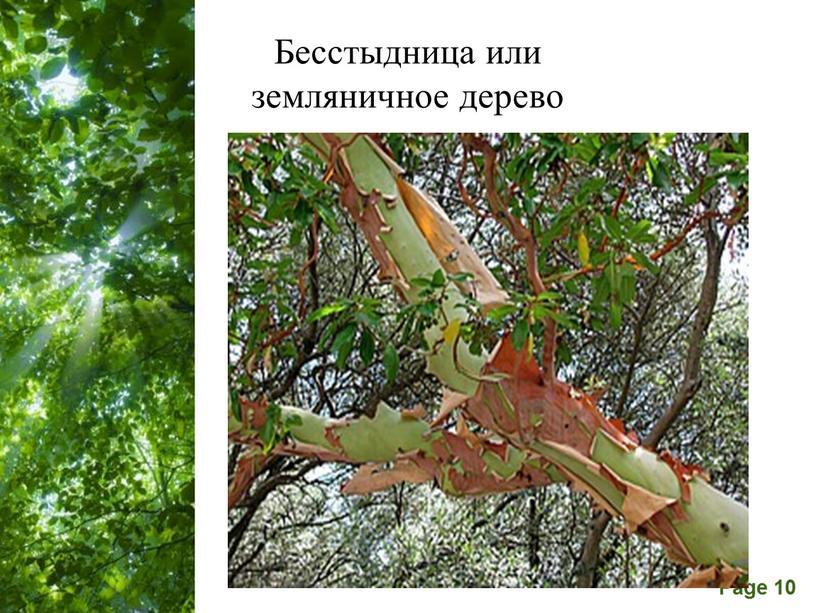 Бесстыдница или земляничное дерево