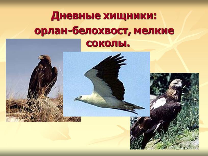 Дневные хищники: орлан-белохвост, мелкие соколы