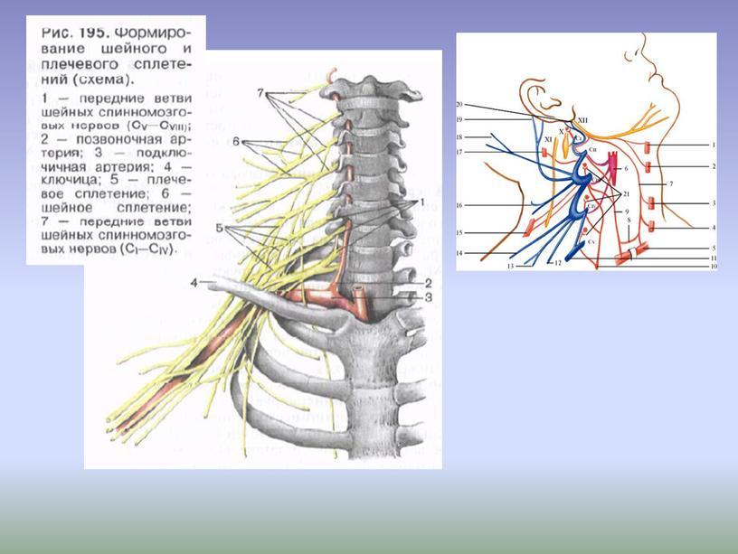"""Презентация к лекционному занятию """"Спинномозговые нервы"""""""