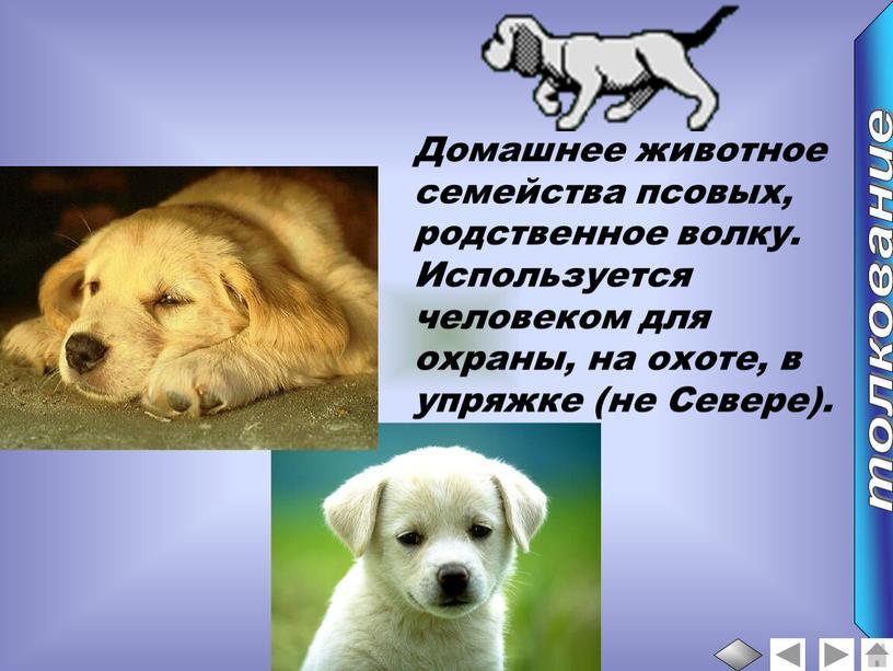 Домашнее животное семейства псовых, родственное волку