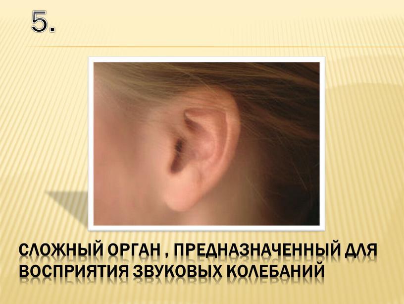 5. сложный орган , предназначенный для восприятия звуковых колебаний