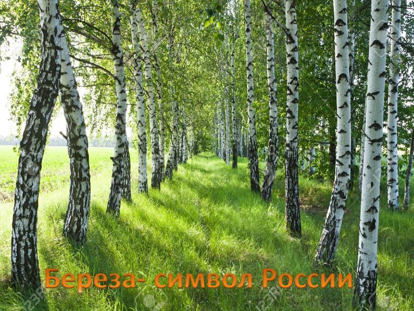 Береза- символ России