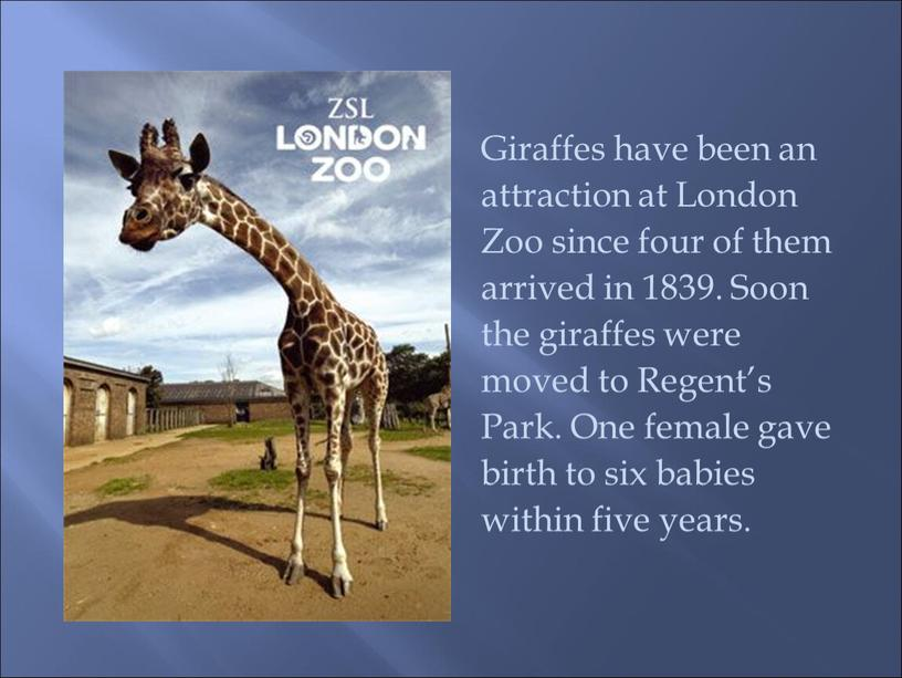 Giraffes have been an attraction at