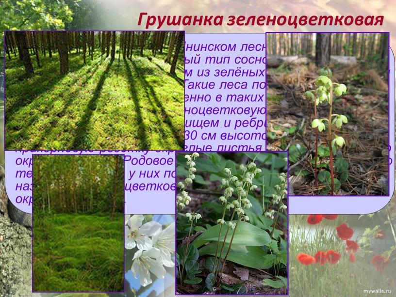 Грушанка зеленоцветковая В Иловай-Воронежском и