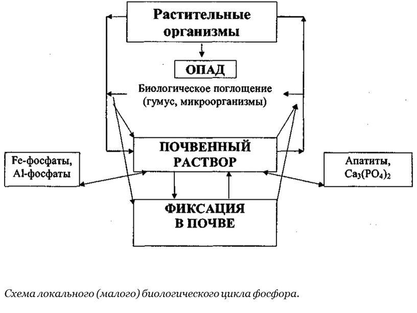 Схема локального (малого) биологического цикла фосфора