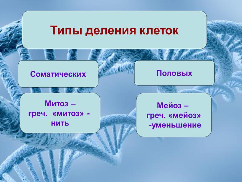 Типы деления клеток Соматических