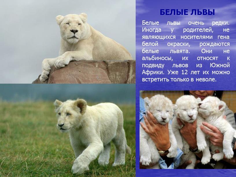 БЕЛЫЕ ЛЬВЫ Белые львы очень редки