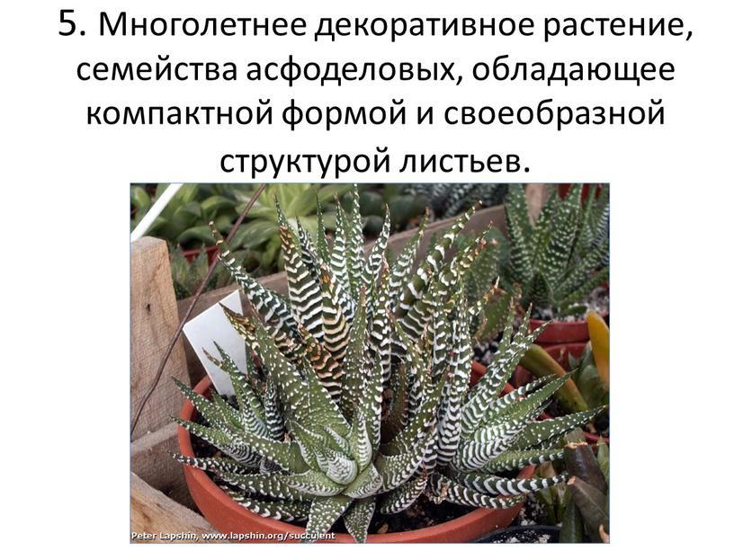 Многолетнее декоративное растение, семейства асфоделовых, обладающее компактной формой и своеобразной структурой листьев
