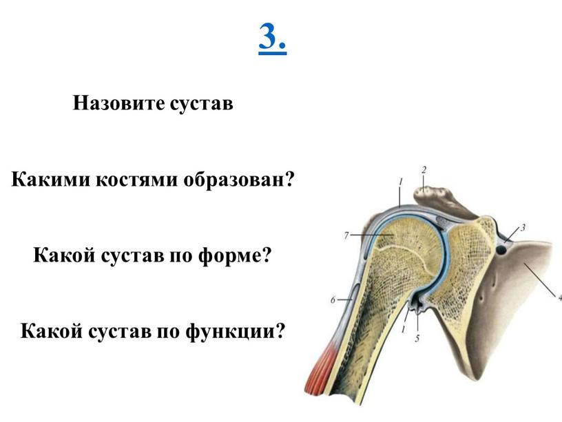 Назовите сустав Какими костями образован?