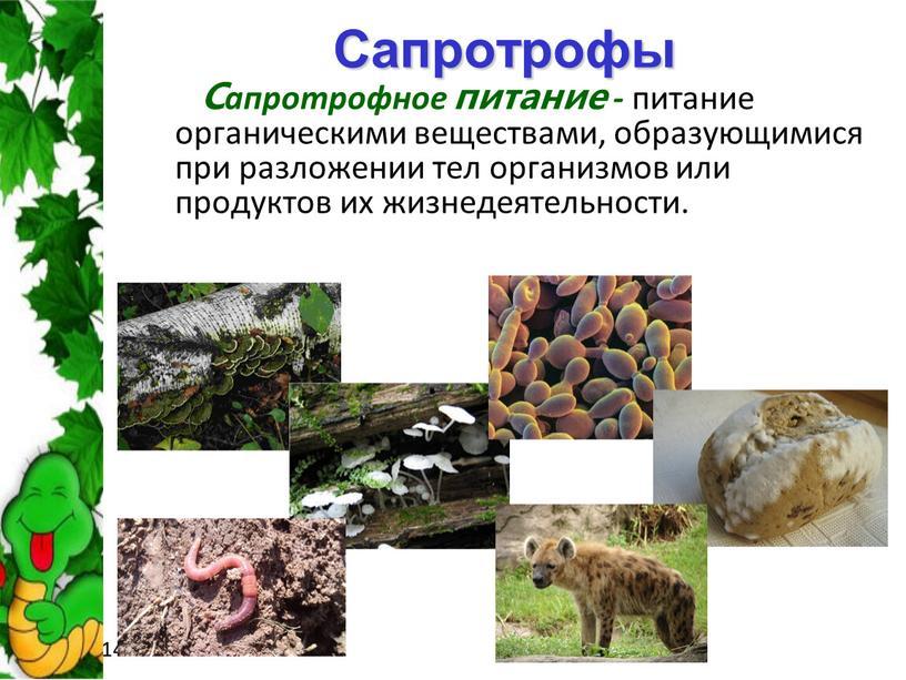 Сапротрофы Сапротрофное питание - питание органическими веществами, образующимися при разложении тел организмов или продуктов их жизнедеятельности