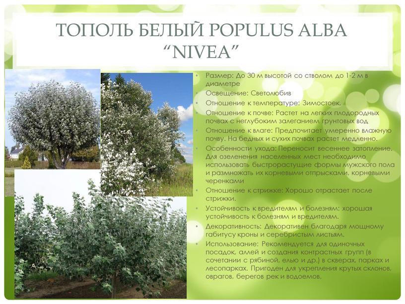 """Тополь белый Populus alba """"Nivea"""""""