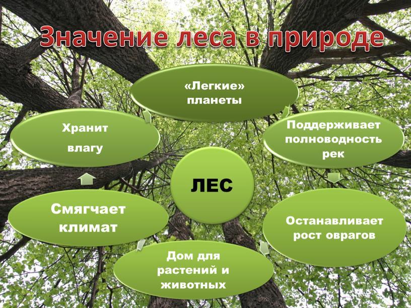 ЛЕС Значение леса в природе