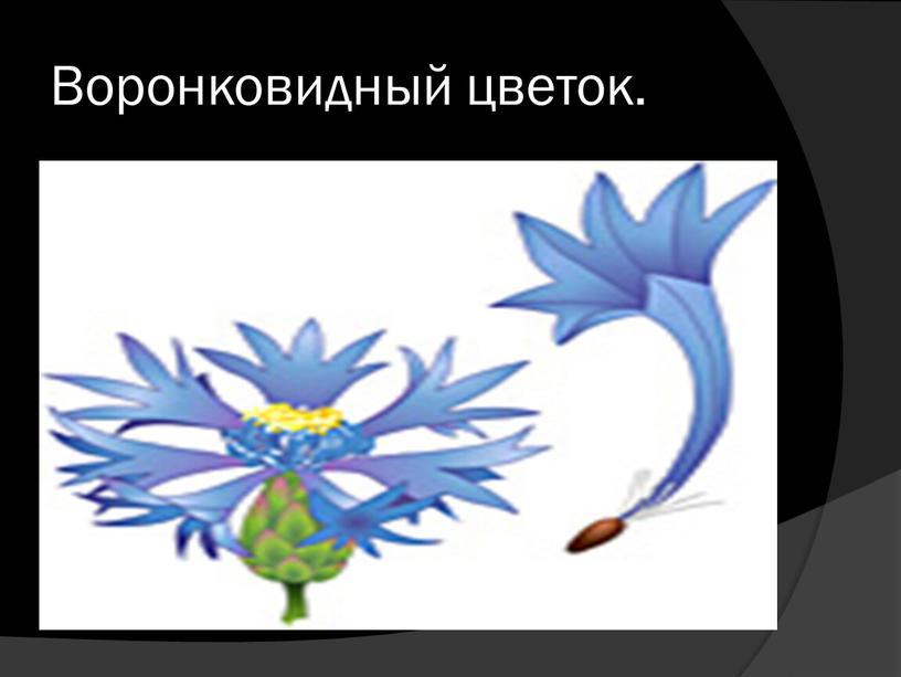 Воронковидный цветок.