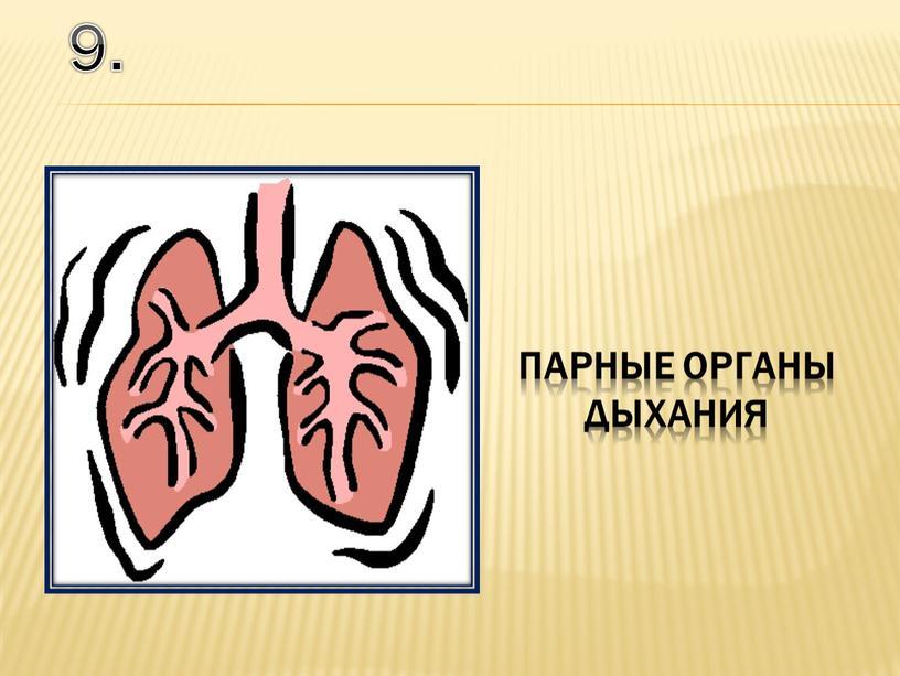 9. парные органы дыхания