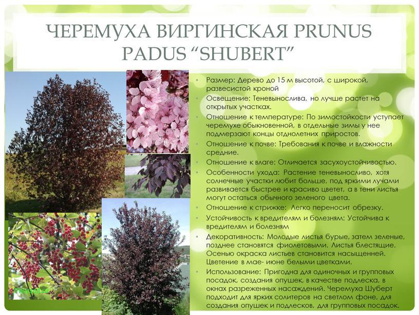 """Черемуха виргинская Prunus padus """"Shubert"""""""