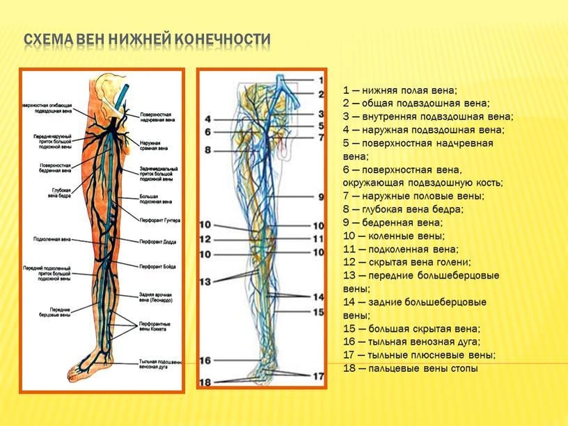 Схема вен нижней конечности 1 — нижняя полая вена; 2 — общая подвздошная вена; 3 — внутренняя подвздошная вена; 4 — наружная подвздошная вена; 5…