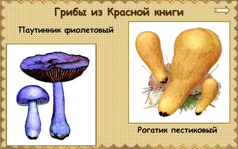 Паутинник фиолетовый Грибы из Красной книги