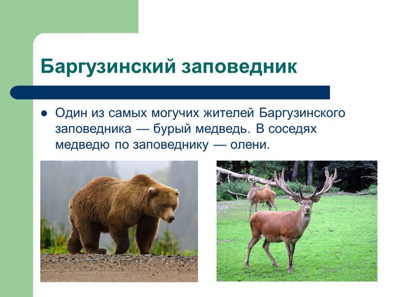 Баргузинский заповедник Один из самых могучих жителей